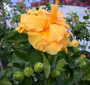 How To Grow Hibiscus From Seed Pods